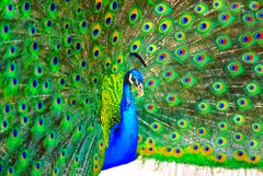 Peacock Displaying Blue and Green Plumage