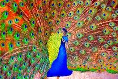 Peacock with Orange Eye Feathers Spiritual Healing