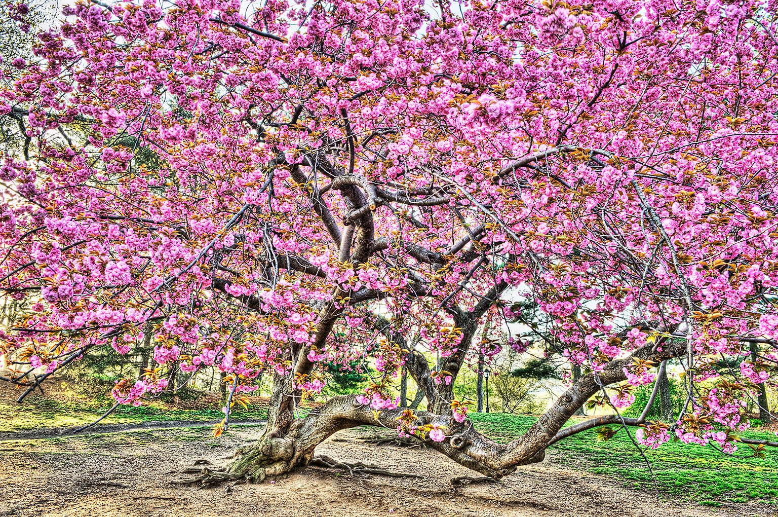 Pink Cherry Blossoms Central Park