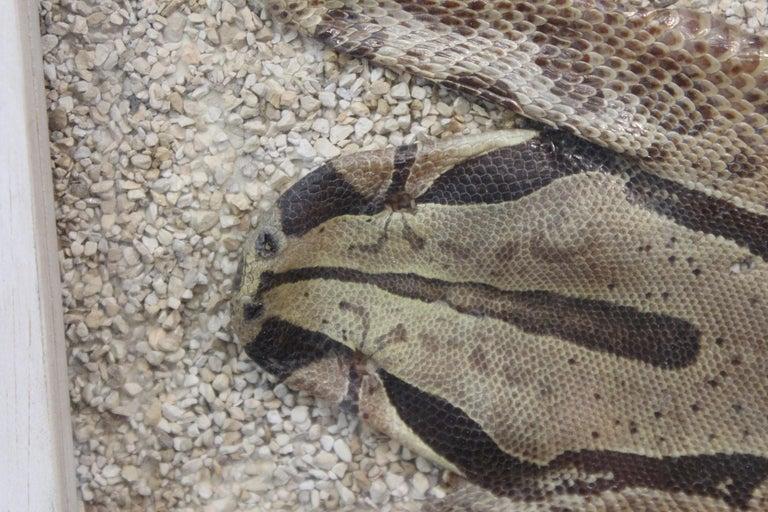 Modern Framed Snakeskin Shadowbox For Sale 5