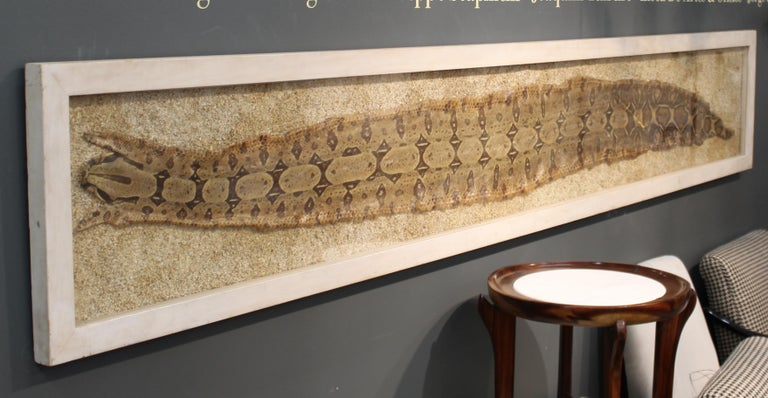 Modern monumental custom framed snakeskin in a long shadowbox. The animal is likely a boa constrictor and is in great condition with some age-related wear to the frame.