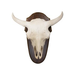 Monster Buffalo Skull Mount