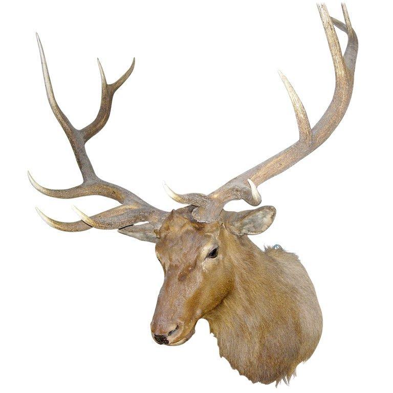 Monumental Twelve-Point Elk Mount