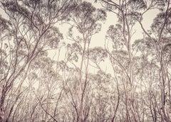 Eucalyptus II (Photograph, Print, Nature, Trees, Landscape, Sky, Cream, Black)