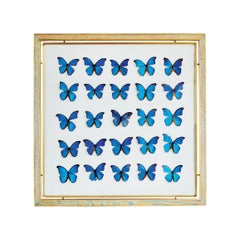 Morpho Blue Butterfly Frame in White Oak and Brass by Cam Crockford