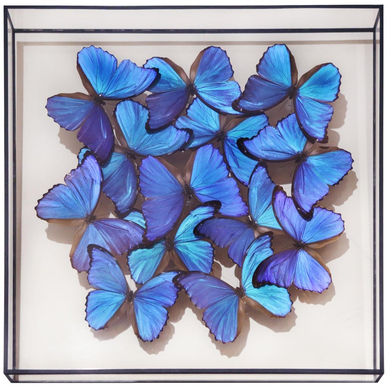 Frame Morphos butterflies medium, with natural Morphos butterflies from Peru, under glass box frame. Exceptional and unique piece made in France in 2019.