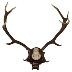 Mounted 11 Point Red Stag Trophy