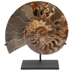 Mounted Ammonite Slice