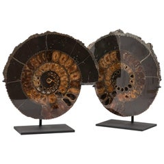 Mounted Black Pyrite Ammonite Pair
