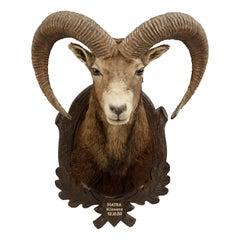 Mounted European Mouflon Ram Taxidermy Shoulder Mount