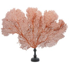 Mounted Red Sea Fan on Black Stand II