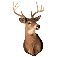 Mounted Stag Taxidermy