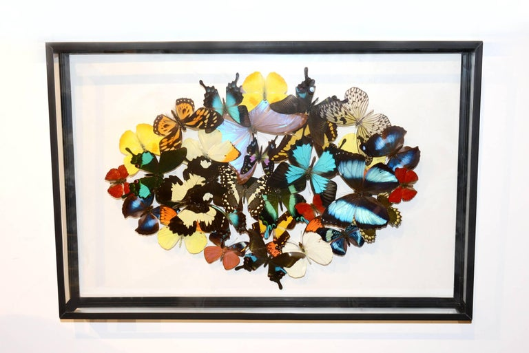 Rare butterflies multicolors under rectangular glass frame,