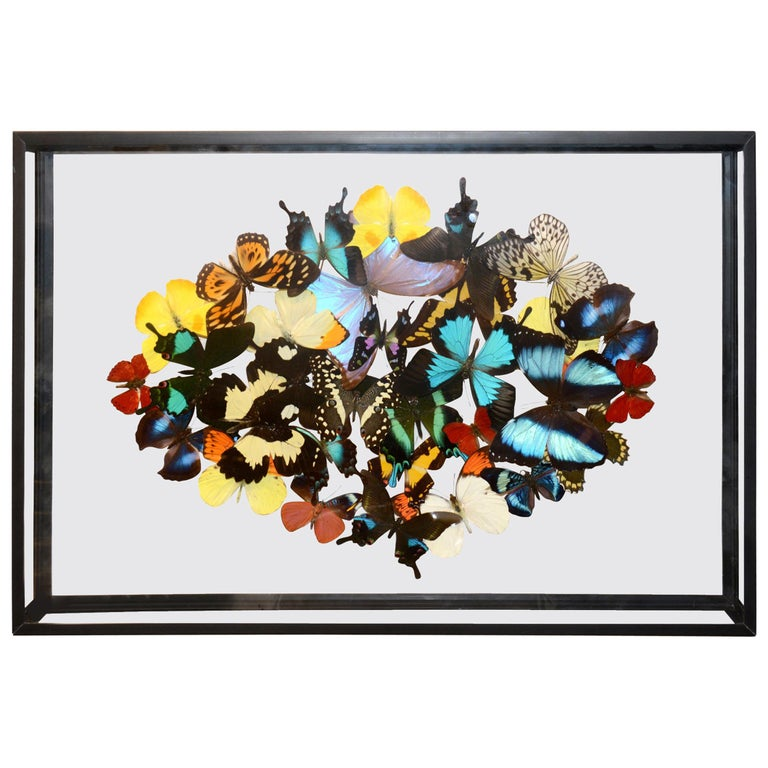 Multicolors Rare Butterflies under Rectangular Glass Frame For Sale