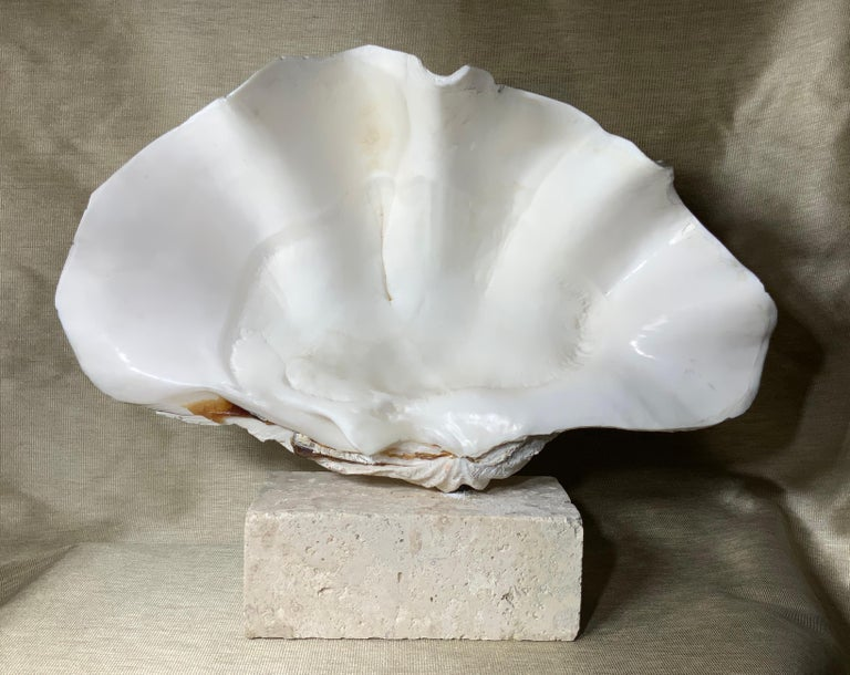 Beautiful natural clamshell with cream color patina professionally clean and mounted on original natural coral base. Great natural object of art for display.