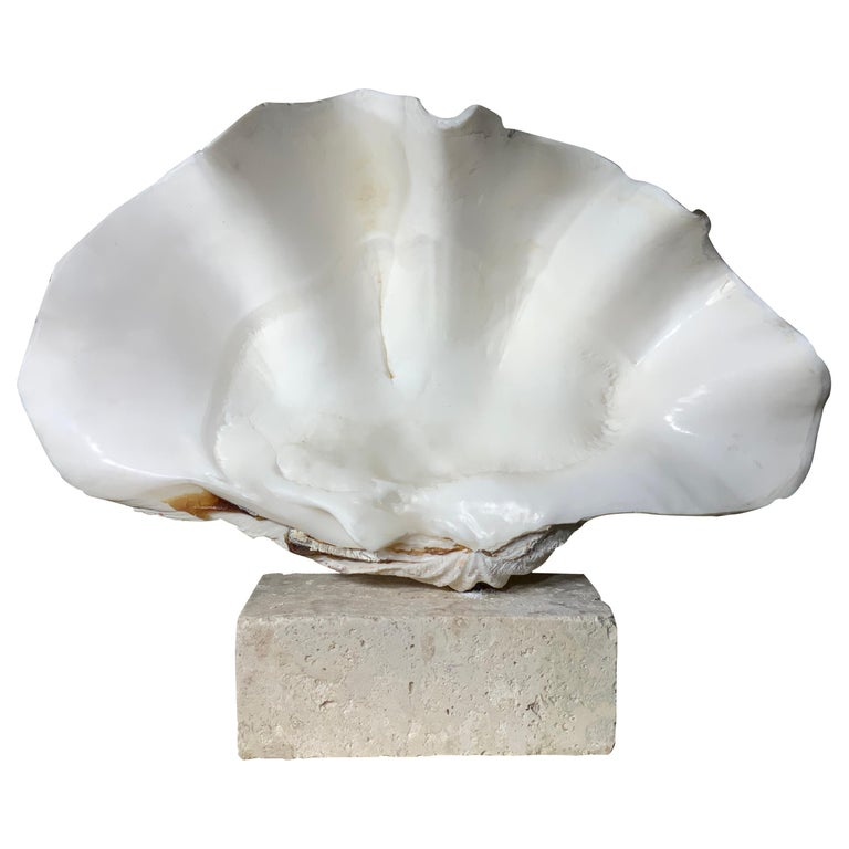 Natural Clamshell Mounted on a Natural Coral Base For Sale