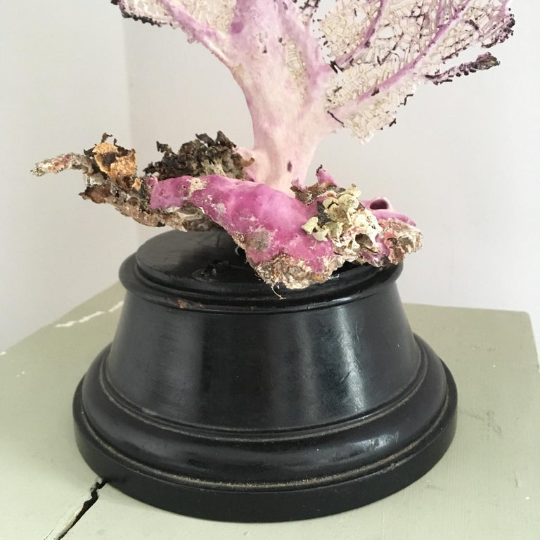 Unknown Natural Sea Fan Coral Mounted on an Ebonised Base For Sale