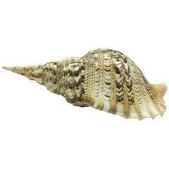 Natural Seashell Trumpet Triton Sea Snail