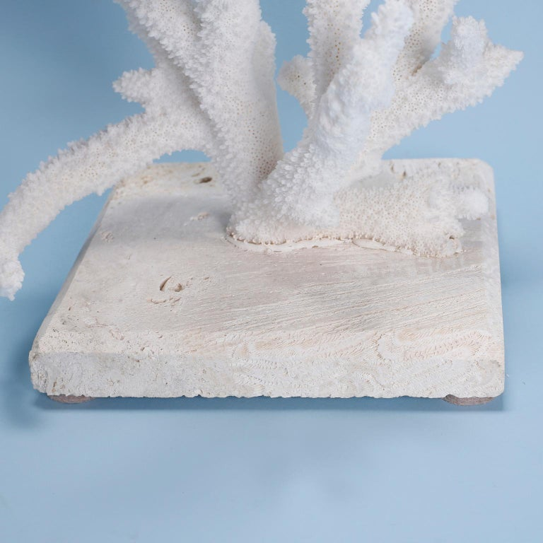 Solomon Islands Natural Staghorn Coral Mounted on Coquina Stone For Sale