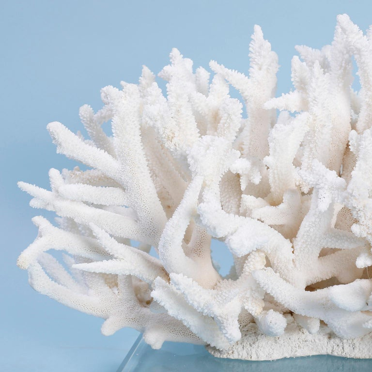 Impressive white staghorn coral sculpture with its clean bleached color and sea inspired texture. Custom designed and assembled by FS Henemader. Presented on a 14 x 10 inch Lucite base. 