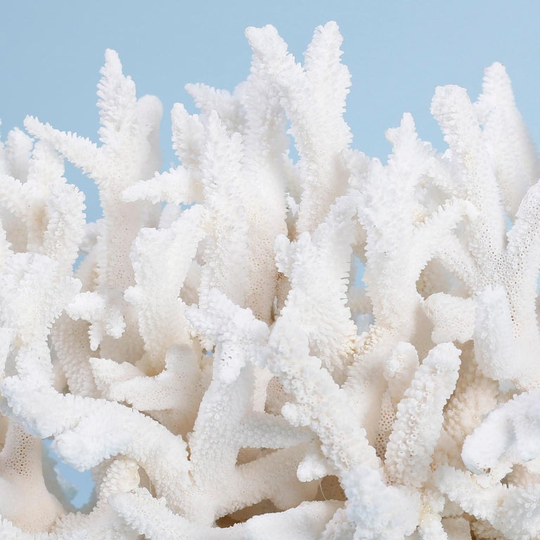 Organic Modern Natural White Coral Sculpture on Lucite For Sale