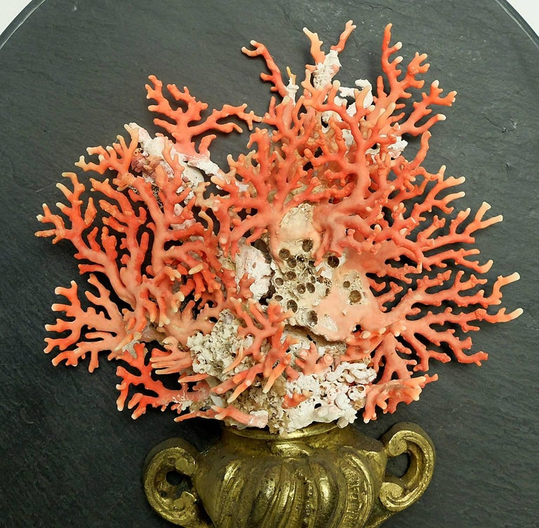 A Naturalia mineral specimen cut off branches of Mediterranean coral mounted on an early golden painted wooden and bronze 18th-century base depicting a vase. The coral sample fan shape is mounted over a slice of a slate of oval shape, Italy, circa