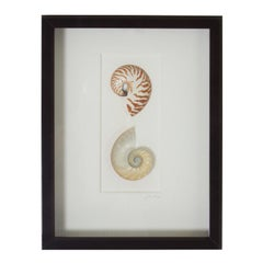 Nautilus Shell Specimen in a Shadow Box