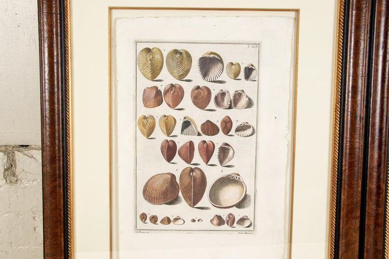 18th Century and Earlier Niccolo Gualtieri, Florentine Conchologist/Artist, Two Framed 1742 Engravings For Sale