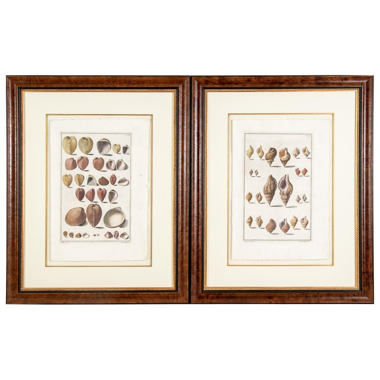 Niccolo Gualtieri, Florentine Conchologist/Artist, Two Framed 1742 Engravings For Sale