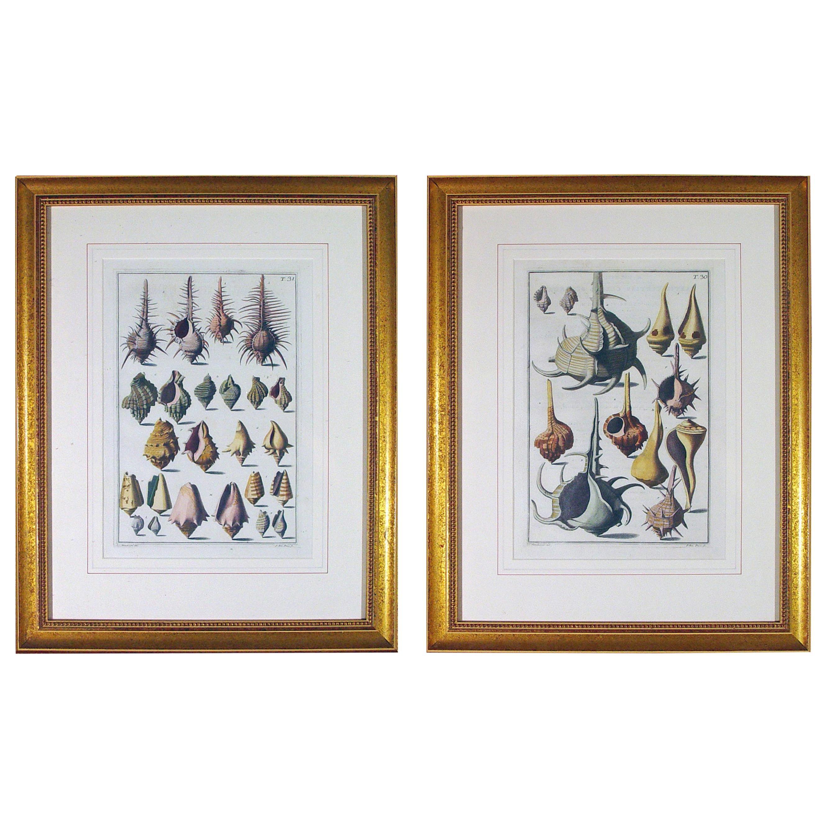 Niccolò Gualtieri Pair of Framed Copperplate Engravings of Sea Shells