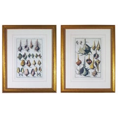 Niccolò Gualtieri Pair of Framed Copperplate Engravings of Sea Shells