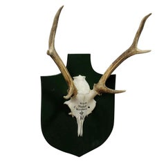 Nice Black Forest Deer Trophy from Salem, Germany, Kleeholz 1956