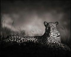 Leopard Staring, Masai Mara – Nick Brandt, Africa, Leopoard, Animal, Wildlife