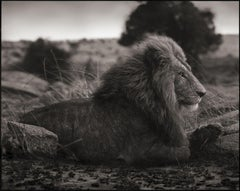 Lion on Burned Ground, Serengeti