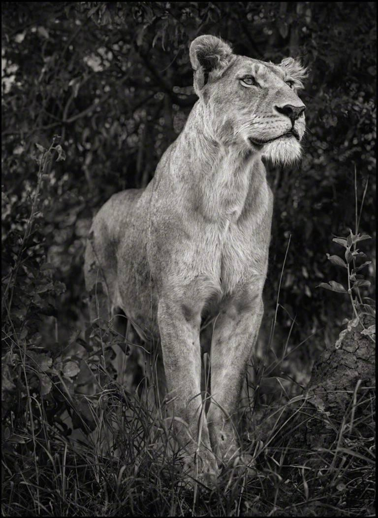 Lioness Against Dark Foliage, Serengeti - Photograph by Nick Brandt