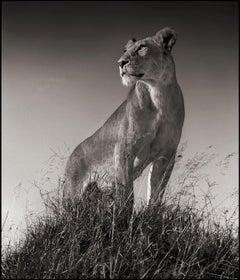 Lioness on Mound, Maasai Mara