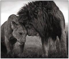 Lions Head to Head, Masai Mara