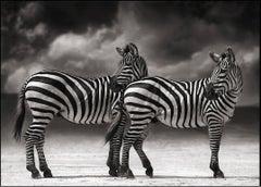 Portrait of Two Zebras Turning Heads, Ngorongoro Crater