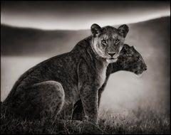 Sitting Lionesses, Serengeti – Nick Brandt, Lion, Africa, Animals