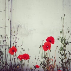 Red Poppies IV Color Photograph