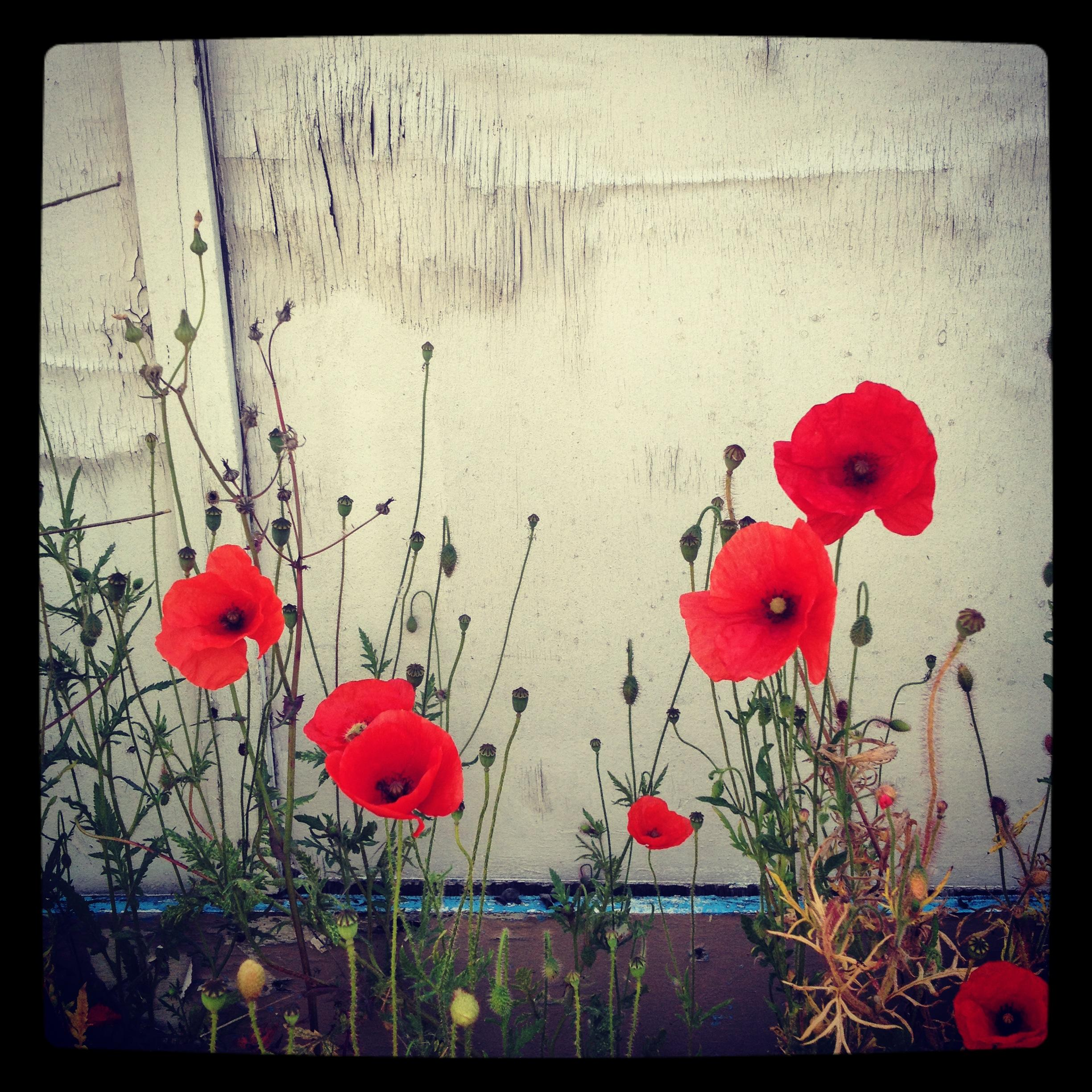 Red Poppies IV Color Photography