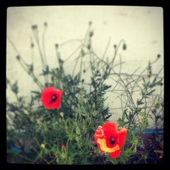 Red Poppies V Color Photography