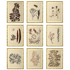 Nine 19th Century Hand-Pressed Seaweeds