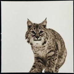 Bobcat II ed. 1/30