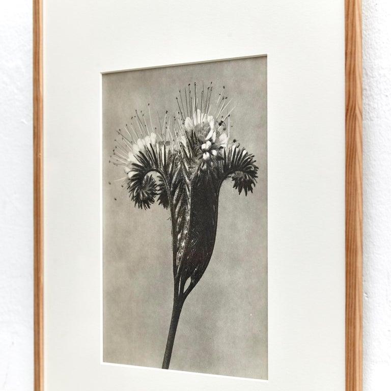 Nine Karl Blossfeldt Black White Flower Photogravure Botanic Photography, 1942 For Sale 12