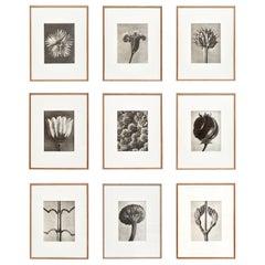 Nine Karl Blossfeldt Black White Flower Photogravure Botanic Photography, 1942