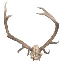 Northern European Deer Antlers