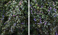 Branches with Plums - 21st Century, Contemporary, Color Photography