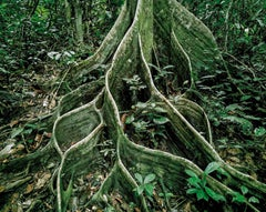 Primary Forest 18, Roots, Malaysia 10/2012 - Olaf Otto Becker