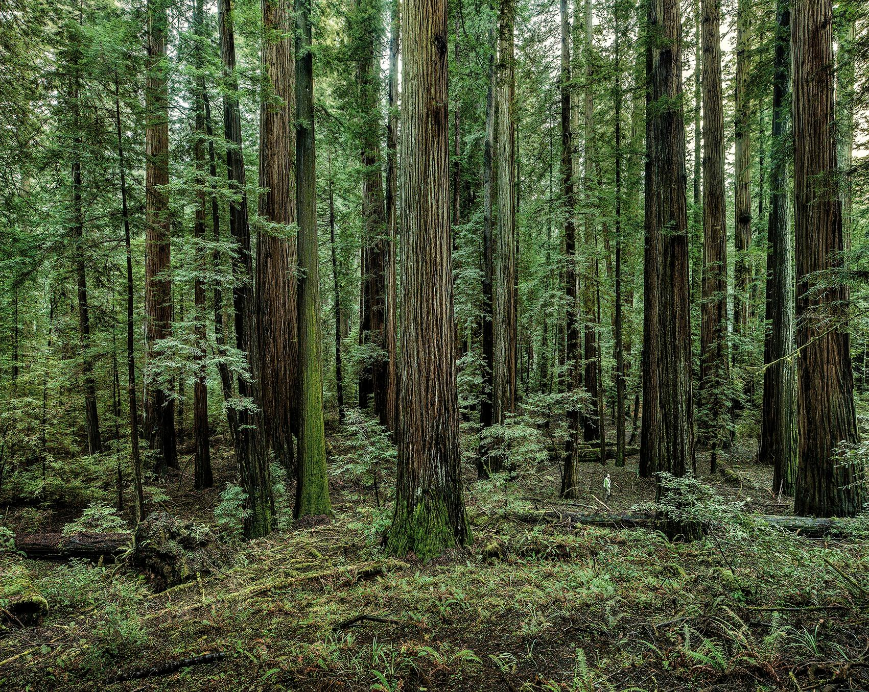 Redwoods 02, California, 2009 - Olaf Otto Becker (Landscape Painting)